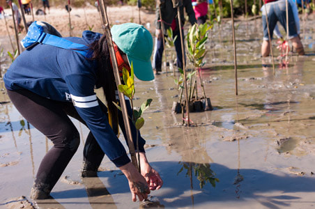 Lady planting Mangroves in Indonesia