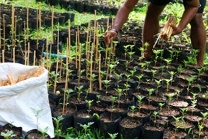 Lady putting bamboo sticks by trees in a nursery