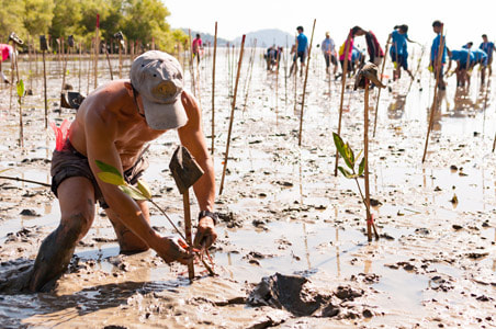 Man planting Mangrove trees in Indonesia