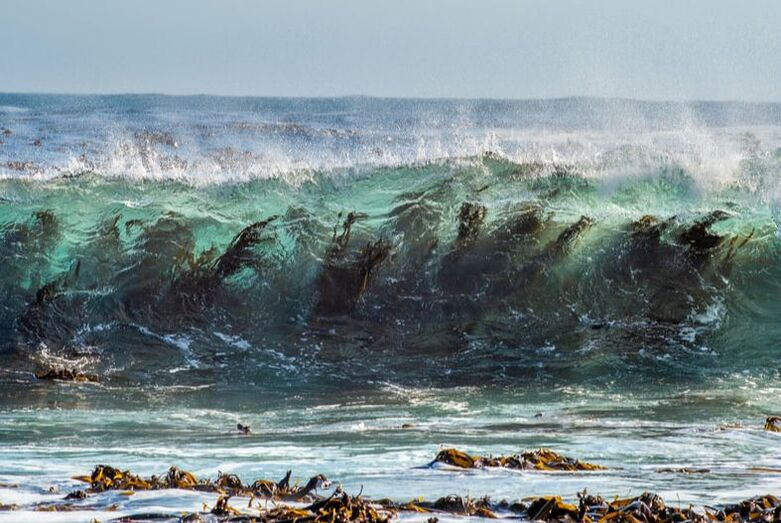 Picture of kelp in the surf