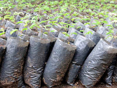 Seedlings in bags ready to be planted